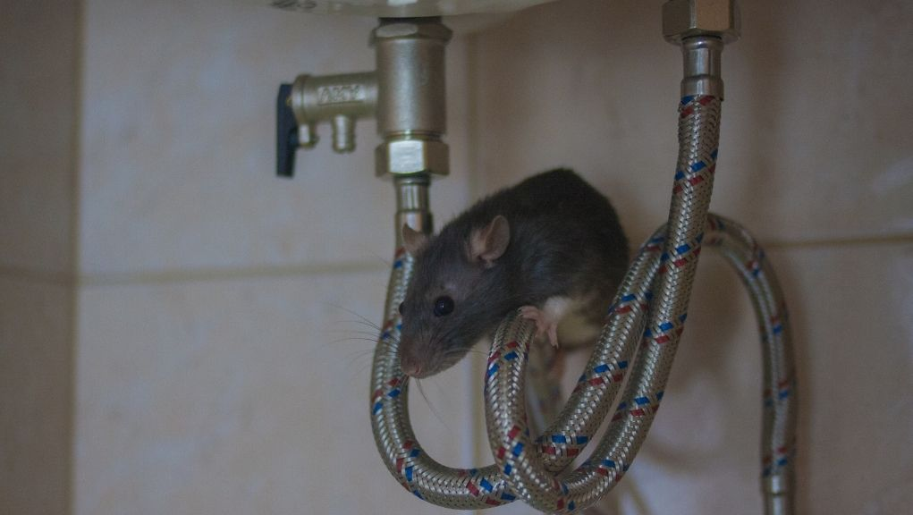 Keep Rodents from Munching on Your Plumbing!